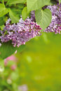 Blooming lilacs Royalty Free Stock Images