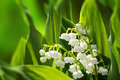 Blooming Lily of the valley in spring garden Royalty Free Stock Images