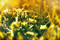 Blooming little yellow flower meadow Royalty Free Stock Images
