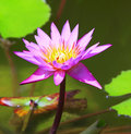Blooming lotus flower Royalty Free Stock Photos