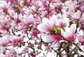 Blooming magnolia Royalty Free Stock Photo
