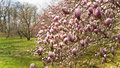 Blooming magnolia flowers pattern of on the tree Royalty Free Stock Image