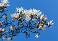 Blooming magnolia tree Stock Photo