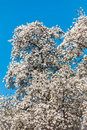 Blooming magnolia tree Stock Image