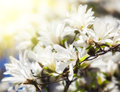 Blooming magnolia tree Stock Images