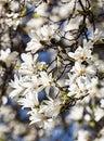 Blooming magnolia tree Royalty Free Stock Photo