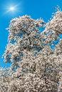 Blooming magnolia tree Royalty Free Stock Photography