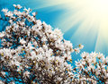 Blooming magnolia tree Royalty Free Stock Images