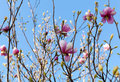 Blooming magnolia tree branches against the sky Royalty Free Stock Photos