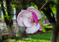 Blooming magnolia tree. Royalty Free Stock Photo