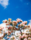 Blooming magnolia tree and the pure blue sky Royalty Free Stock Photos