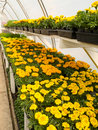 Blooming marigold in commercial greenhouse Royalty Free Stock Photo