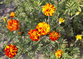 Blooming marigold flowers field closeup Royalty Free Stock Photo