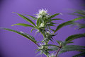 Blooming Marijuana plant with early white cannabis flowers over Royalty Free Stock Photo