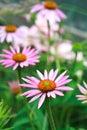Blooming medicinal herb echinacea purpurea or coneflower close up Stock Photo