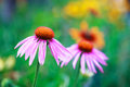 Blooming medicinal herb echinacea purpurea or coneflower close up Royalty Free Stock Photography