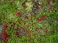 Blooming moss growing on lava stone and fields in iceland at summer Stock Image