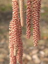 Blooming nut tree red lamb's tails blooms in spring Royalty Free Stock Images