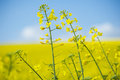 Blooming oilseed rape on yellow and blue background Royalty Free Stock Images