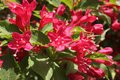 Blooming Oldfashioned Weigela Royalty Free Stock Photo