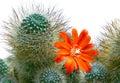 Blooming orange cactus flower on thorny cactus. Royalty Free Stock Photo