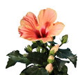 Blooming orange hibiscus flower on the white background tahitian rainbow Royalty Free Stock Photo