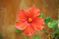 Blooming orange hibiscus on light brown blur background close up Royalty Free Stock Images
