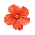 Blooming orange hibiscus on white background close up Royalty Free Stock Photography