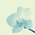 Blooming orchid cream on a soft light background added hint of green tinting Royalty Free Stock Images