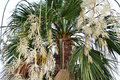 Blooming palm a fan with bunchy white clusters Royalty Free Stock Photo