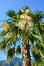 Blooming palm a fan with bunchy white clusters Royalty Free Stock Image