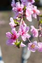 Blooming Peach Tree Stock Images