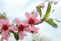 Blooming peach tree beautiful flowers in spring Royalty Free Stock Photo