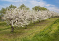 Blooming peach trees in a spring orchard Royalty Free Stock Photography