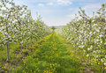 Blooming peach trees in a spring orchard Royalty Free Stock Images