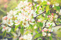 Blooming pear tree with flowers Royalty Free Stock Photo