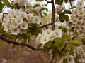 Blooming pear-tree Royalty Free Stock Photo