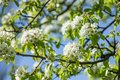 Blooming of pear tree in spring Royalty Free Stock Photo