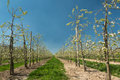Blooming pear trees endless rows of young in full bloom in the famous flemish fruit region in belgium near st truiden Stock Photo