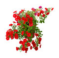 Blooming petunia Royalty Free Stock Photo