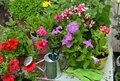 Blooming petunia flowers in pots and watering can on wooden patio Royalty Free Stock Photo