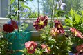 Blooming petunia with pink and red flowers on the balcony. Home garden Royalty Free Stock Photo
