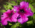 The blooming of Petunia Royalty Free Stock Photo
