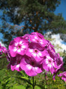 Blooming Phlox paniculata, Polemoniaceae Royalty Free Stock Photos