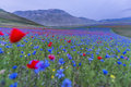 Blooming in Piano Grande of Castelluccio di Norcia, Monti SIbill Royalty Free Stock Photo