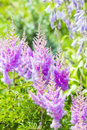 Blooming pink Astilba Arends ,, Amethyst ,,  lat. Astilbe arend Royalty Free Stock Photo