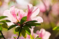 Blooming pink azalea rhododendron spring Royalty Free Stock Photo