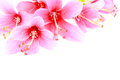 Blooming of pink hibiscus flower or chinese rose on white background Royalty Free Stock Image