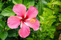 Blooming of pink hibiscus flower close up Royalty Free Stock Photo