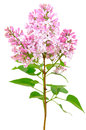 Blooming of pink lilac syringa isolated on white background Stock Photos